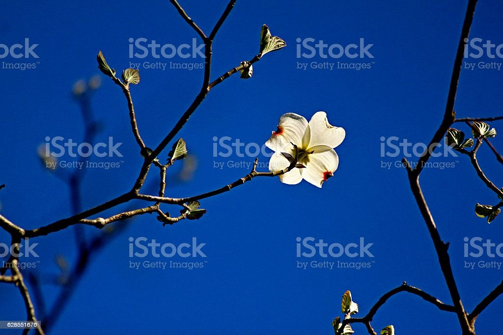 Solitary Dogwood Flower stock photo