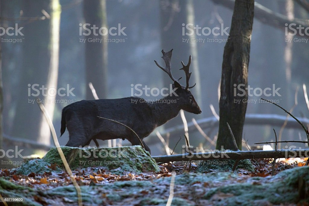 Solitary fallow deer stag walking in forest. Side view. stock photo