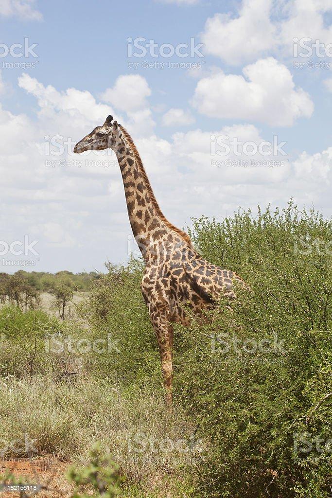 Solitary giraffe in Porini, Amboseli, Kenya stock photo
