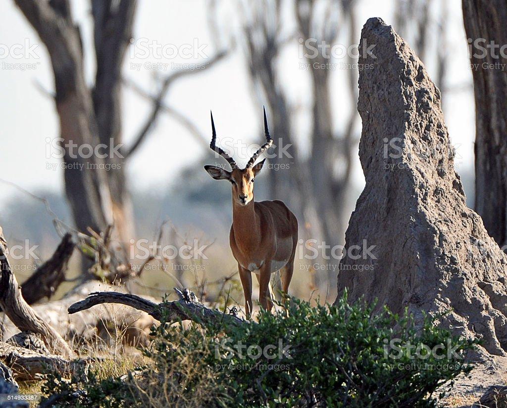 Solitary Impala buck, Botswana stock photo