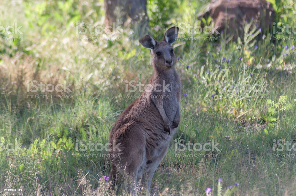 Solitary Kangaroo stock photo
