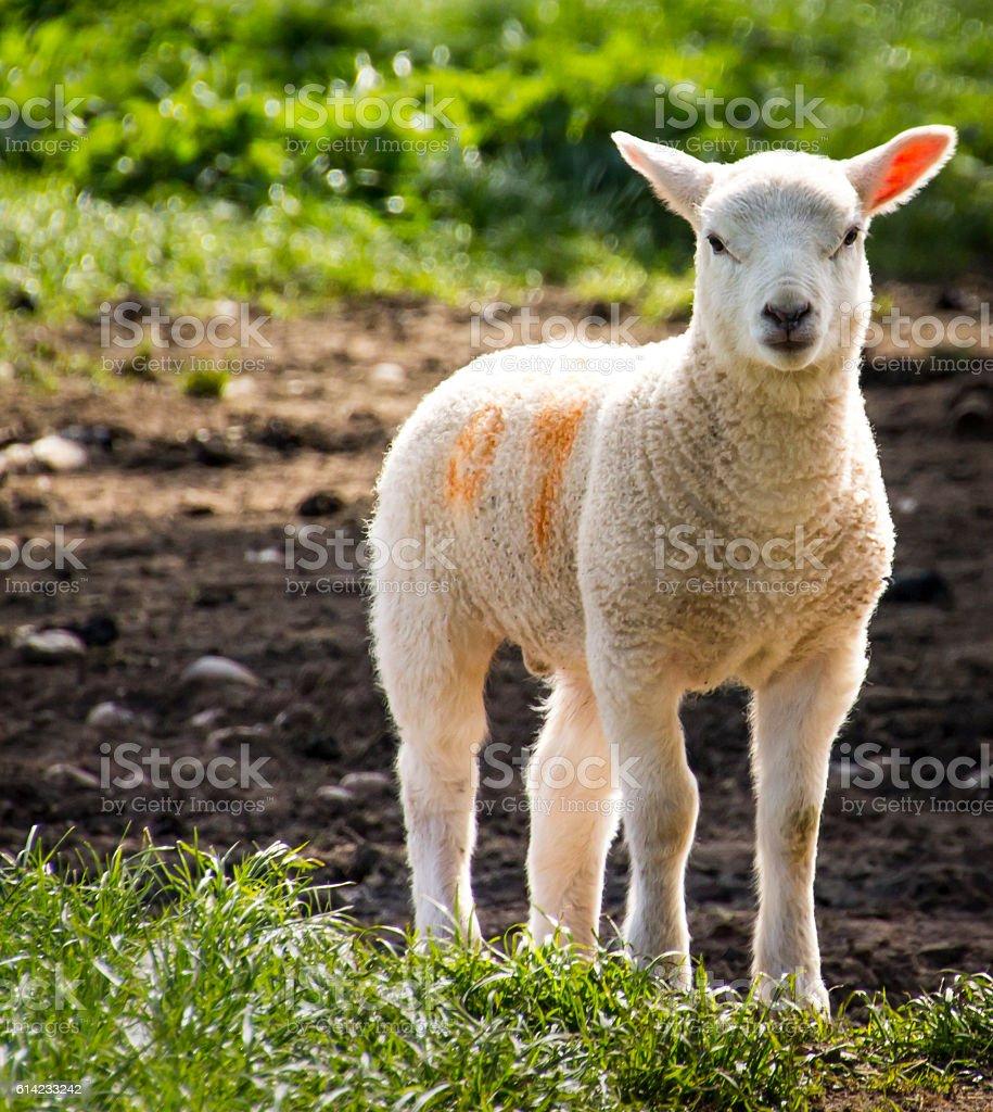 Solitary lamb in field in spring stock photo