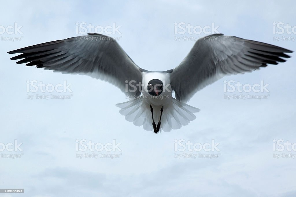 Solitary Laughing Gull stock photo