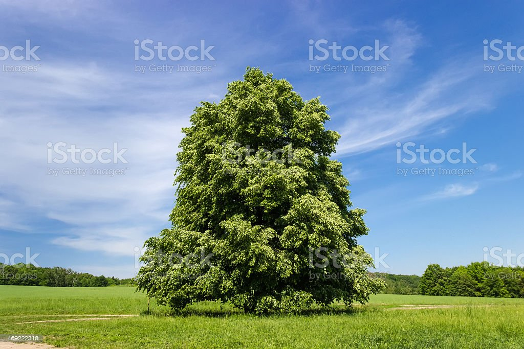 Solitary linden stock photo