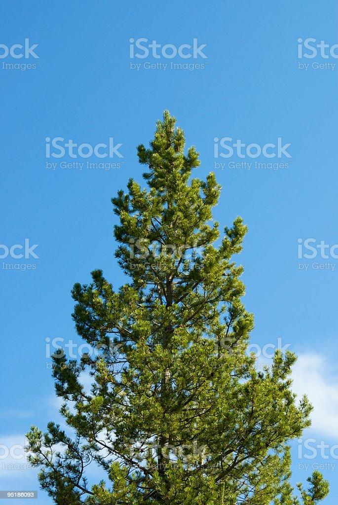 Solitary lodge pole pine on blue sky background stock photo