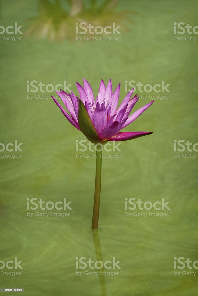 Solitary Lotus Flower in pond royalty-free stock photo