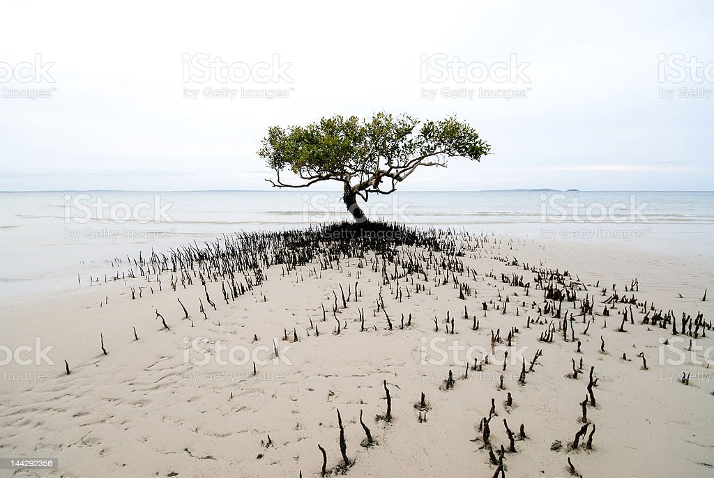 Solitary mangrove tree royalty-free stock photo