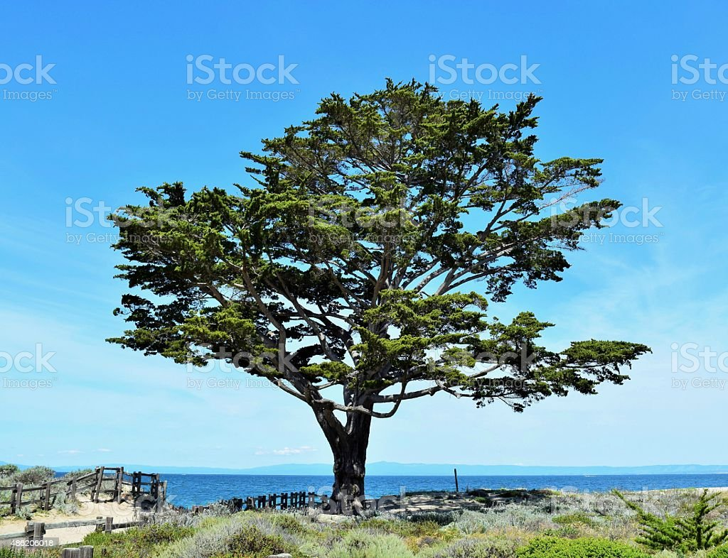 Solitary Monterey Cypress Tree stock photo
