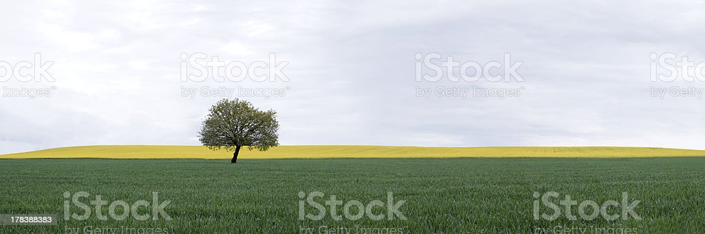 Solitary Oak in Field at a cloudy day royalty-free stock photo