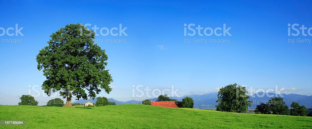 Solitary Oak Panorama royalty-free stock photo