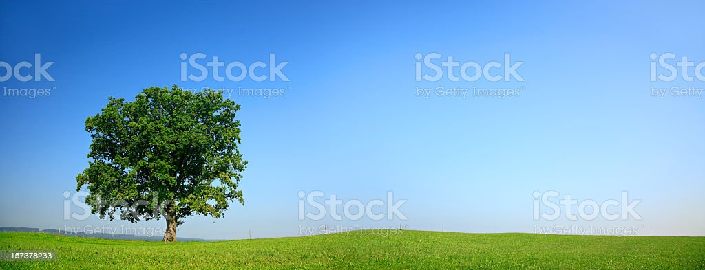 Solitary Oak Panorama royalty-free stock photo