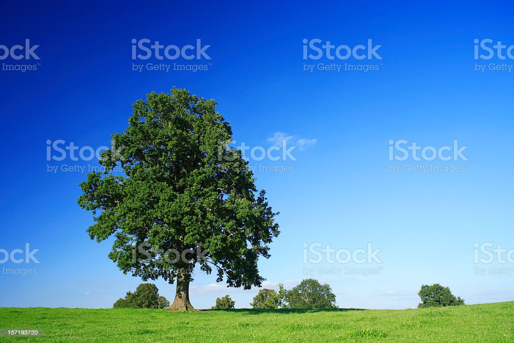 Solitary Oak royalty-free stock photo