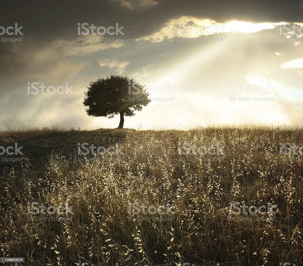 Solitary Oak Tree At Sunset stock photo