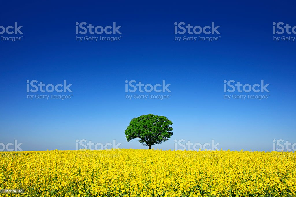 Solitary Oak Tree in Canola Field stock photo