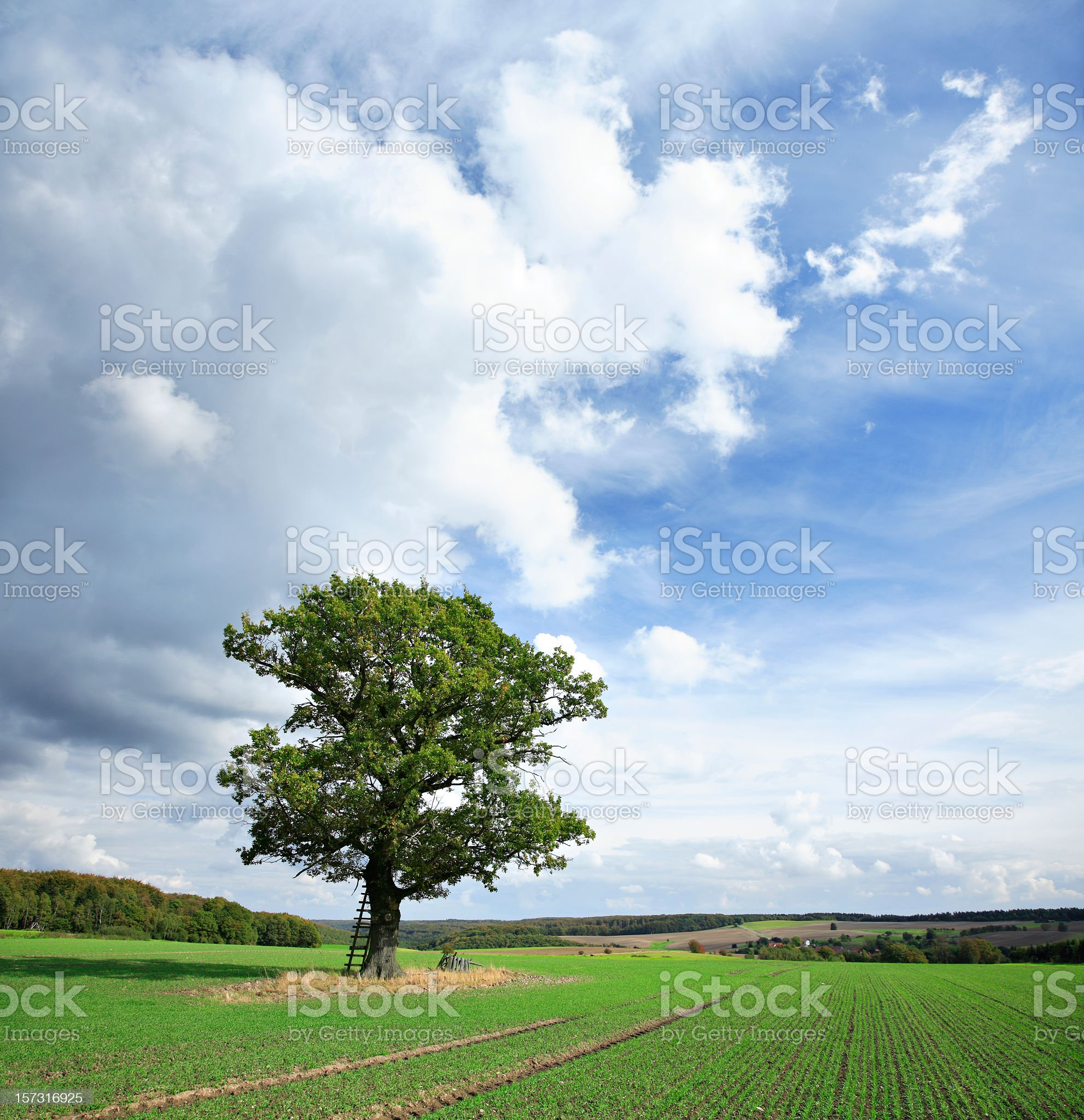Solitary Oak Tree on Green Field royalty-free stock photo