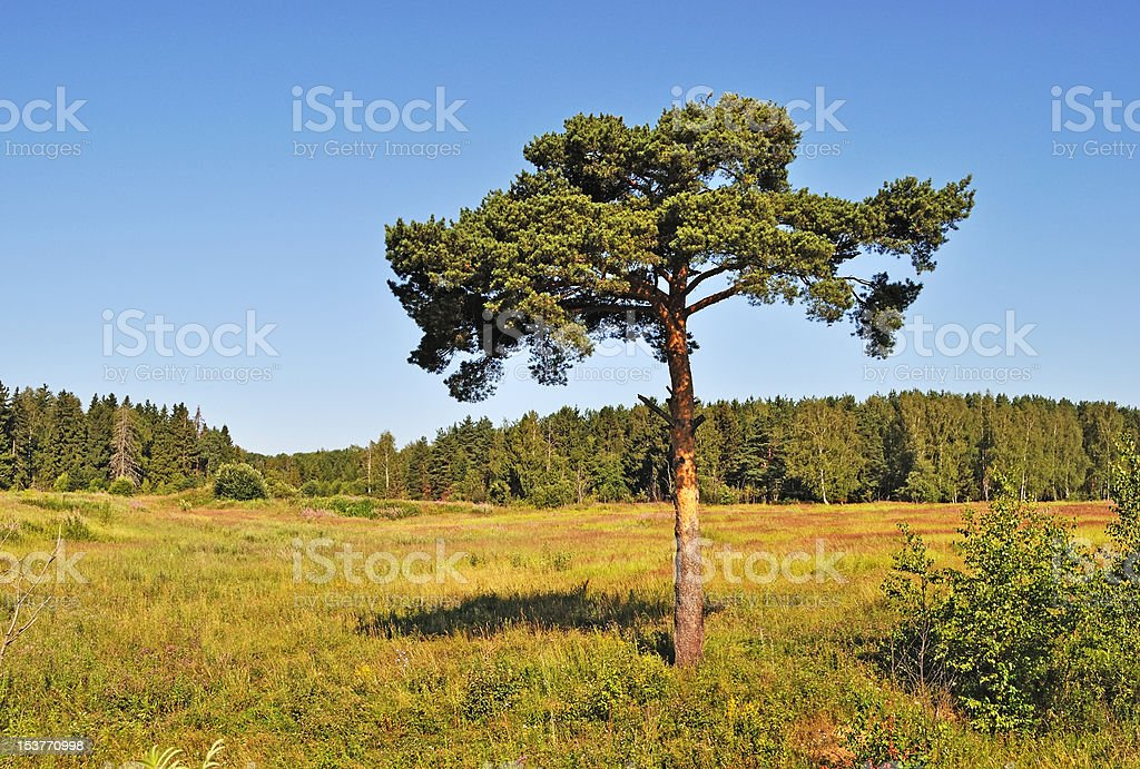 Solitary pine tree at forest edge royalty-free stock photo