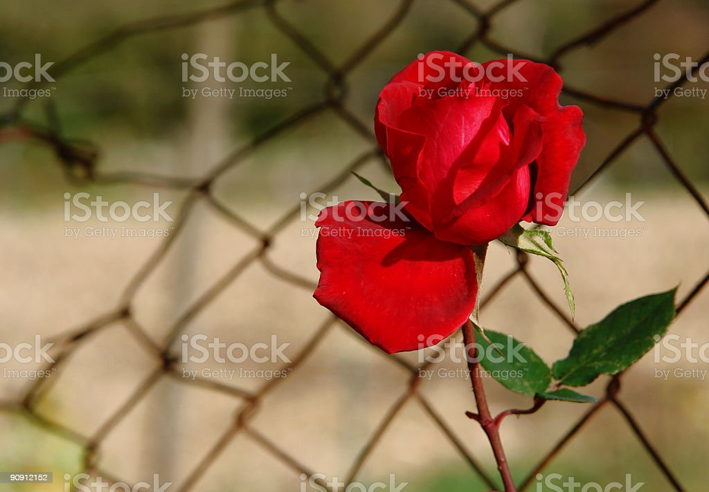 solitary rose royalty-free stock photo