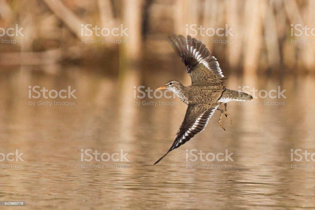 Solitary sandpiper stock photo