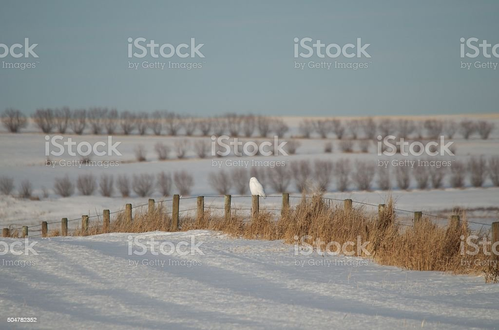 Solitary snowy Owl watching from a fence post stock photo