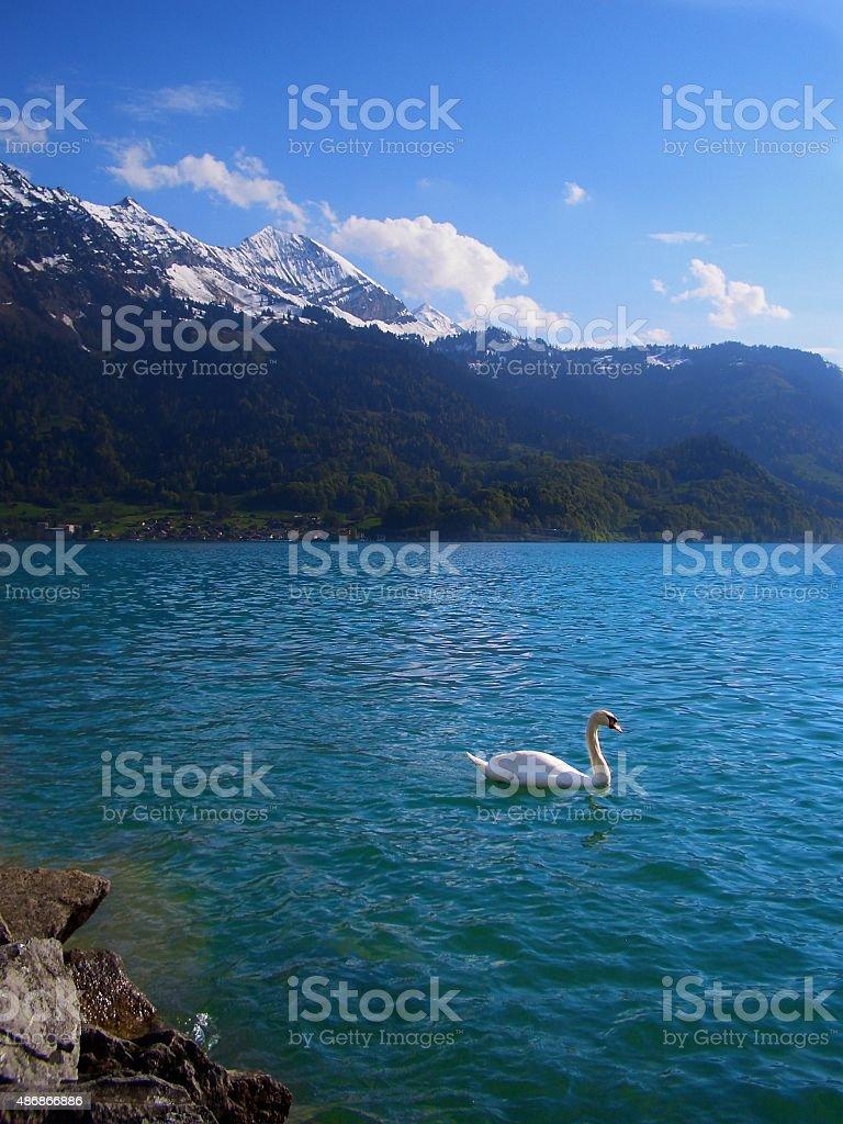 solitary swan on Lake Brienz Interlaken Switzerland Swiss Alps stock photo