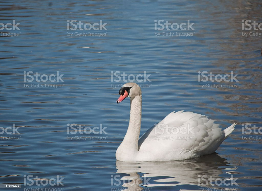 Solitary Swan stock photo