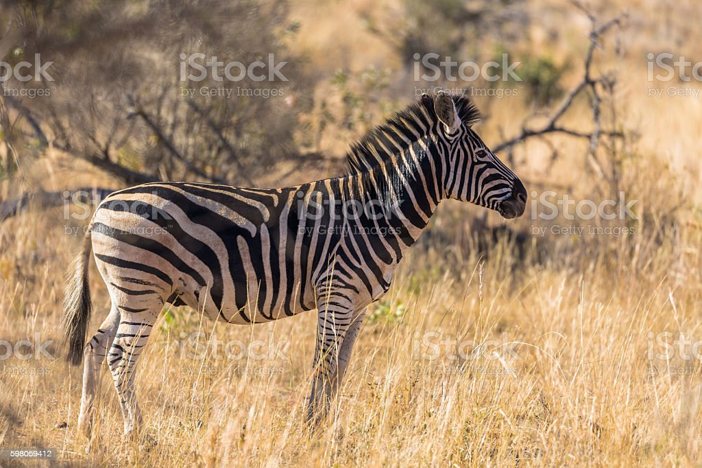 Solitary Zebra on the African Savannah stock photo