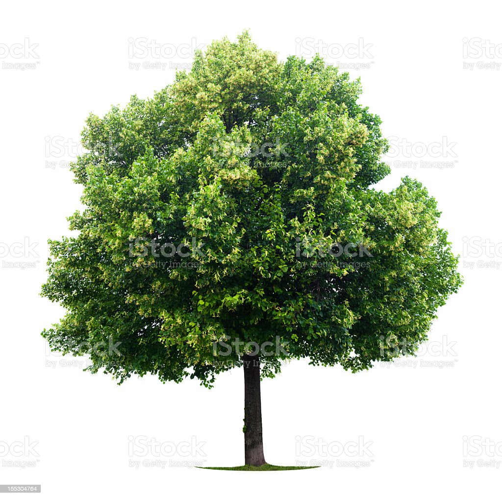 A solitude linden tree on a white background royalty-free stock photo