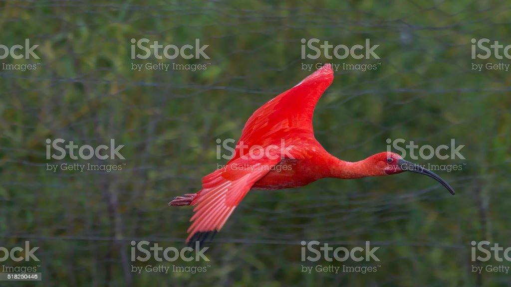 Solo Flight of a Scarlet Beauty stock photo