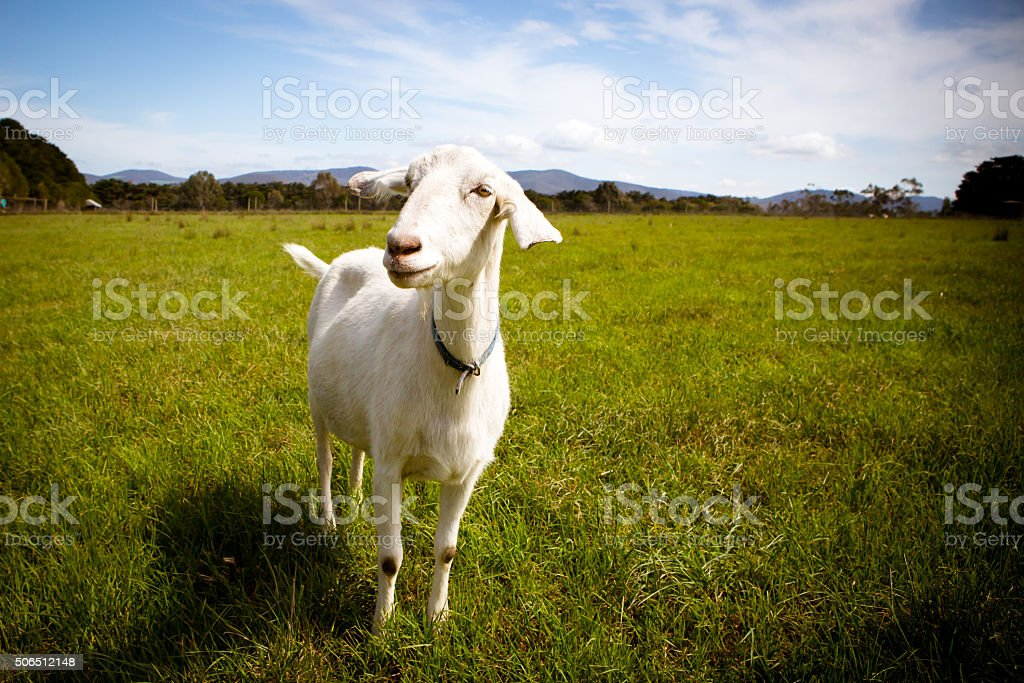 Solo Goat in A Field stock photo