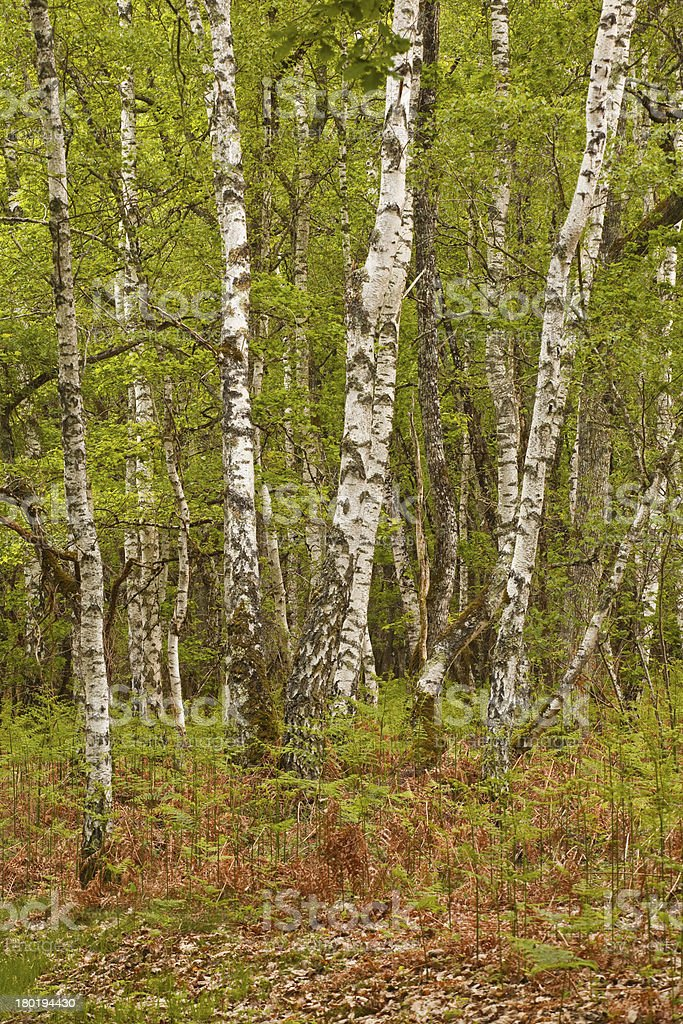 Sologne woodland royalty-free stock photo