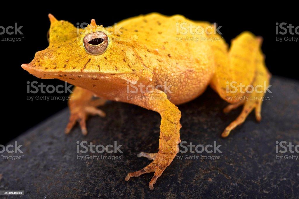 Solomon island leaf frog (Ceratobatrachus guentheri) stock photo