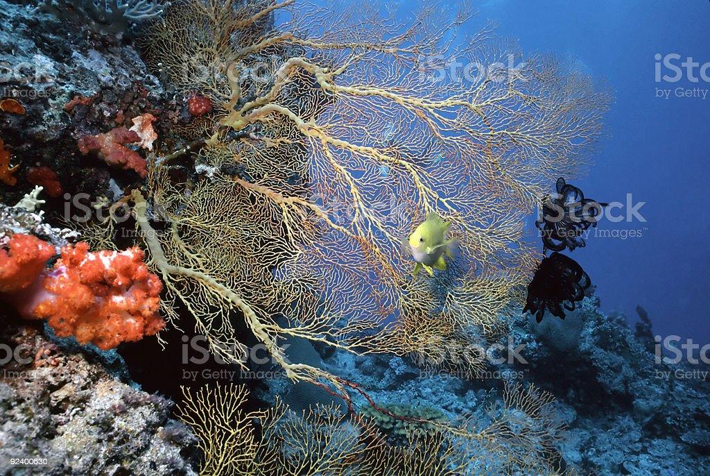 Solomon Sea Fan stock photo