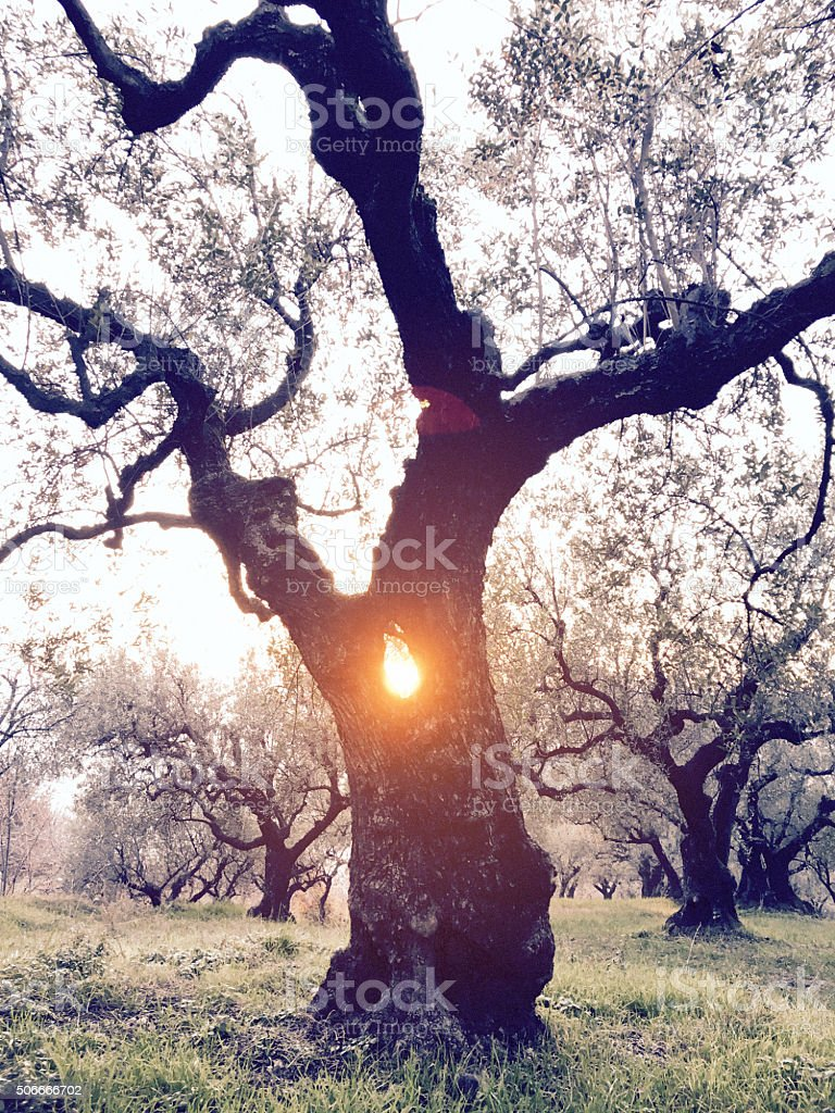 Solstice. Sun coming out of an olive tree. stock photo