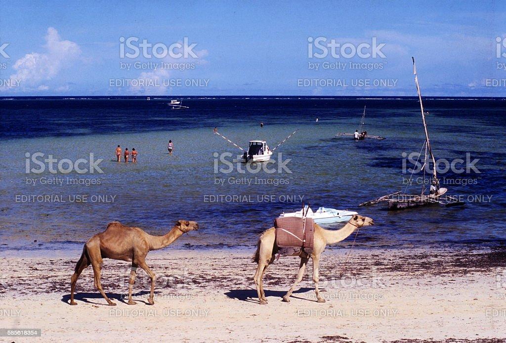 Somali camels at Diani beach, Kenya stock photo