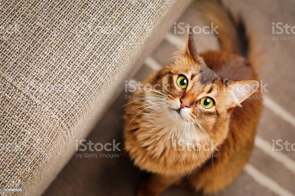 Somali Cat Looking Up stock photo