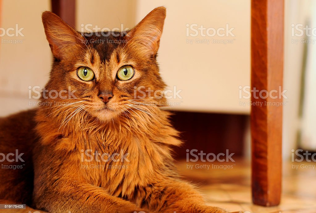Somali cat lying portrait stock photo