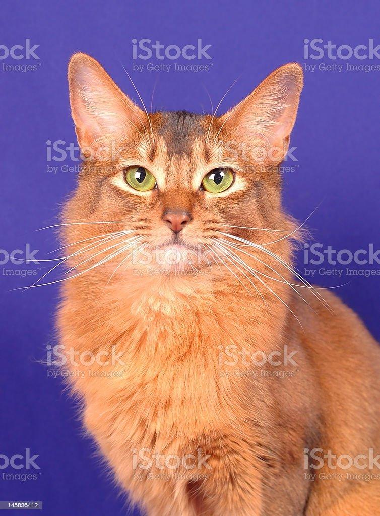 Somali cat portrait royalty-free stock photo