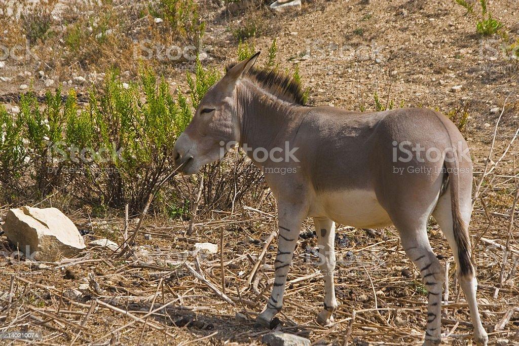 Somali donkey stock photo