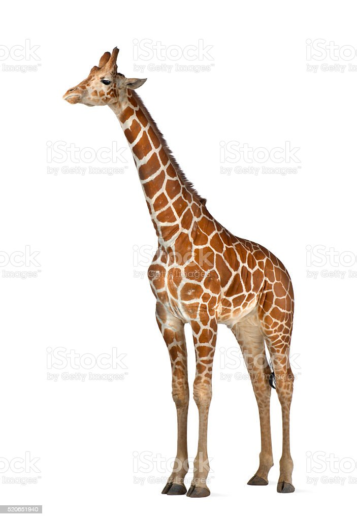 Somali Giraffe, commonly known as Reticulated Giraffe, Giraffa camelopardalis reticulata stock photo