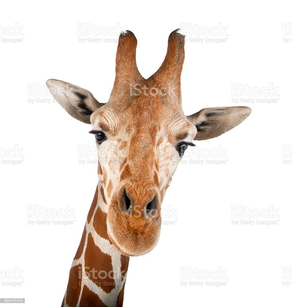 Somali Giraffe, commonly known as Reticulated Giraffe, Giraffa camelopardalis reticulata stock photo