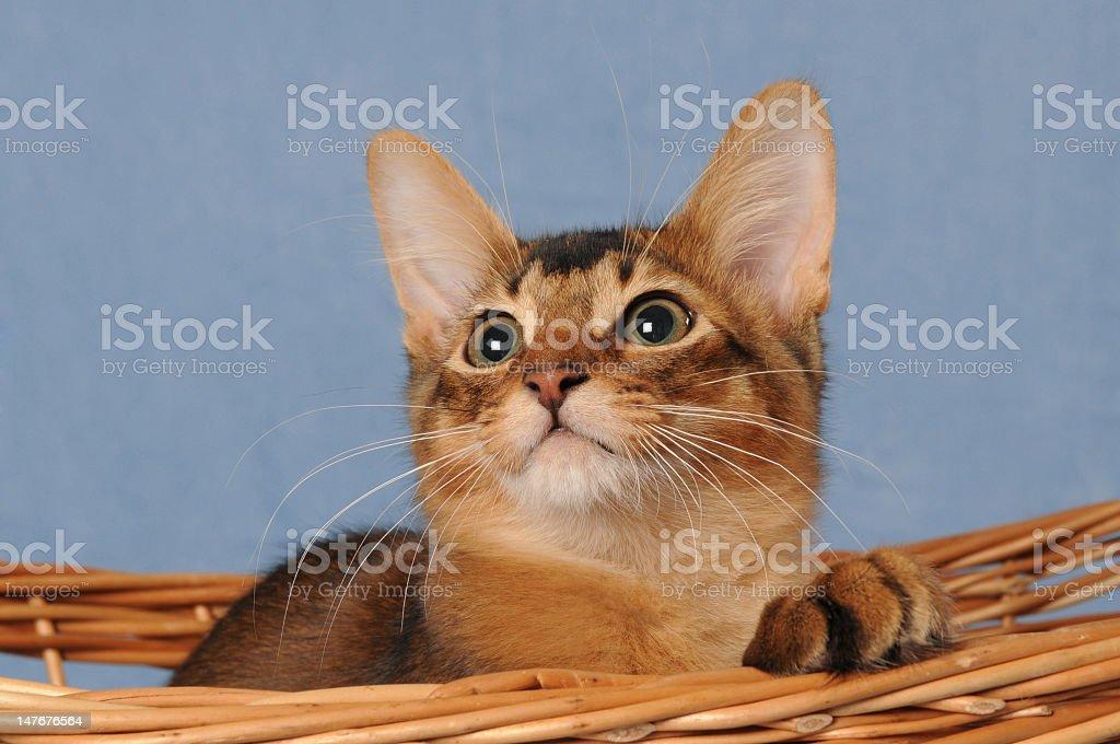 Somali kitten pops up from the basket stock photo