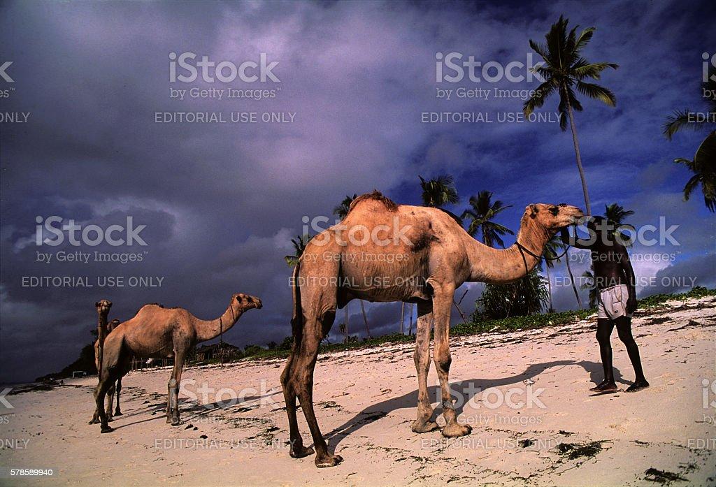 Somali tribesmen bathing their camels at Diani beach, Kenya stock photo