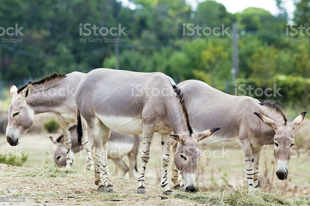 Somali wild ass group royalty-free stock photo