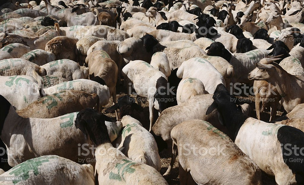 Somalia, Somaliland, Burao, goats and sheep to be exported royalty-free stock photo