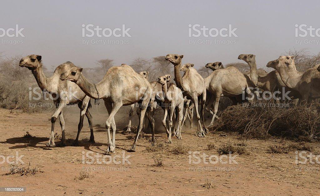Somaliland, camel group walking out of enclosure stock photo