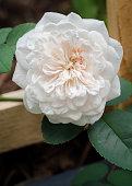 Sombreuil - Single White Rose