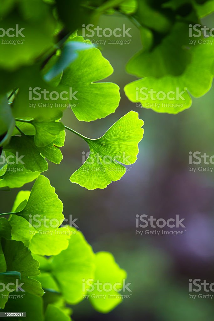 Some blur ginkgo biloba leaves stock photo