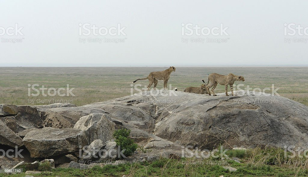 some Cheetahs in the savannah royalty-free stock photo