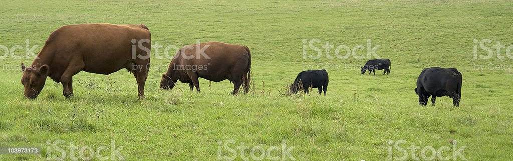 some cows on green grass royalty-free stock photo