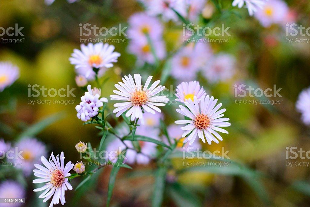 some daisy at the garden stock photo